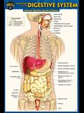Anatomy of the Digestive System (Pocket-Sized Edition - 4x6 Inches)