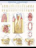 Dental Anatomy Poster (22 X 28 Inches) - Laminated: A Quickstudy Reference