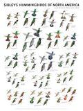 Sibley's Hummingbirds of North America Wall Poster