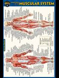 Anatomy of the Muscular System (Pocket-Sized Edition - 4x6 Inches)
