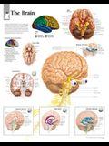 The Brain Chart: Laminated Wall Chart