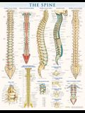 Spine Anatomy Poster (22 X 28 Inches) - Laminated: A Quickstudy Reference